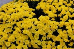 Belgisk Mum Allegra Yellow, Allegra Yellow för krysantemummorifolium` `, Fotografering för Bildbyråer