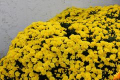Belgisk Mum Allegra Yellow, Allegra Yellow för krysantemummorifolium` `, Royaltyfri Foto