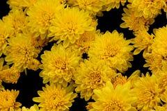 Belgisk Mum Allegra Yellow, Allegra Yellow för krysantemummorifolium` `, Arkivfoto
