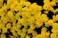 Belgisk Mum Allegra Yellow, Allegra Yellow för krysantemummorifolium` `, Arkivbild