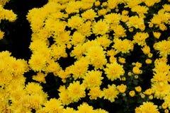 Belgisk Mum Allegra Yellow, Allegra Yellow för krysantemummorifolium` `, Royaltyfri Bild