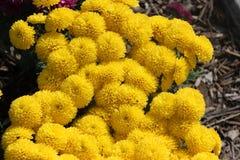 Belgisk Mum Allegra Yellow, Allegra Yellow för krysantemummorifolium` `, Royaltyfri Fotografi