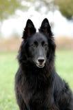belgisk sheepdog royaltyfria foton