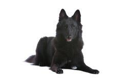 belgisk sheepdog royaltyfri bild