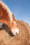 Belgisk utkasthäst som äter hö Royaltyfri Foto