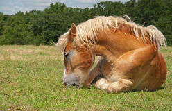 belgiskt utkast som äter den lata hästen Royaltyfri Fotografi