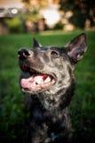 belgium granicy trakenu collie pies mieszająca baca Obraz Royalty Free
