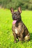 belgium granicy trakenu collie pies mieszająca baca obraz stock