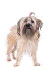 belgium granicy trakenu collie pies mieszająca baca Zdjęcia Royalty Free