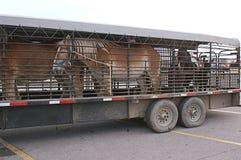 Belgium Horses in Trailor Stock Image