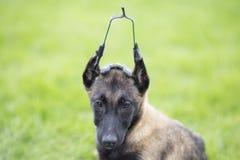 Belgium Malinu a dog Royalty Free Stock Photos