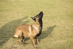 Belgium Malinu a dog. It is a Belgian Malinois, Malinu a dog, only a short haired Belgian Shepherd 4 types, is the famous ancient varieties. Because of its good Stock Image