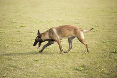 Belgium Malinu a dog. It is a Belgian Malinois, Malinu a dog, only a short haired Belgian Shepherd 4 types, is the famous ancient varieties. Because of its good Stock Photography