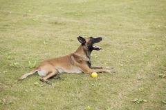 Belgium Malinu a dog. It is a Belgian Malinois, Malinu a dog, only a short haired Belgian Shepherd 4 types, is the famous ancient varieties. Because of its good Stock Images
