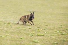 Belgium Malinu a dog Royalty Free Stock Photo