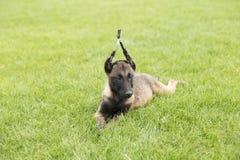 Belgium Malinu a dog Stock Image