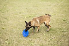 Belgium Malinu a dog. It is a Belgian Malinois, Malinu a dog, only a short haired Belgian Shepherd 4 types, is the famous ancient varieties. Because of its good Royalty Free Stock Photography