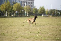 Belgium Malinu a dog. It is a Belgian Malinois, Malinu a dog, only a short haired Belgian Shepherd 4 types, is the famous ancient varieties. Because of its good Royalty Free Stock Photo