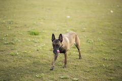 Belgium Malinu a dog. It is a Belgian Malinois, Malinu a dog, only a short haired Belgian Shepherd 4 types, is the famous ancient varieties. Because of its good Stock Photo