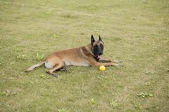 Belgium Malinu a dog. It is a Belgian Malinois, Malinu a dog, only a short haired Belgian Shepherd 4 types, is the famous ancient varieties. Because of its good Royalty Free Stock Images