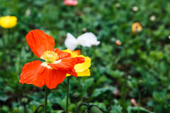 Belgium poppies. Spring is coming royalty free stock photo