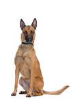 Belgium Shepherd dog Stock Image