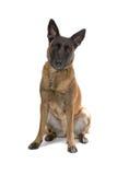 Belgium shepherd dog Royalty Free Stock Photography