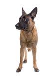 Belgium shepherd dog Royalty Free Stock Photos