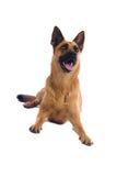 Belgium Shepherd dog. Close up of Belgium Shepherd dog, isolated on white background Royalty Free Stock Photography