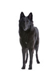 Belgium Shepherd dog Royalty Free Stock Photo
