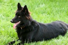 Belgium shepherd dog. Beautiful Belgium shepherd black dog royalty free stock photography