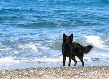 Belgium shepherd dog Stock Photo