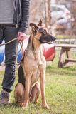 Belgium shepherd dog type malinois. Portrait of belgium shepherd dog type malinois living in belgium and following a course of obedience Stock Image