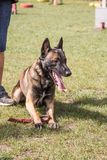 Belgium shepherd dog type malinois. Portrait of belgium shepherd dog type malinois living in belgium and working on a training ground or obedience contest Royalty Free Stock Photos
