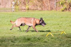 Belgium shepherd dog type malinois. Portrait of belgium shepherd dog type malinois living in belgium and working on a training ground or obedience contest Stock Photo