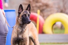 Belgium shepherd dog type malinois. Portrait of belgium shepherd dog type malinois living in belgium and working on a training ground or obedience contest Stock Photography