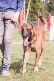 Belgium shepherd dog type malinois. Portrait of belgium shepherd dog type malinois living in belgium and working on a training ground or obedience contest Stock Images