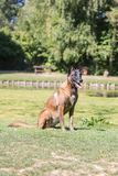 Belgium shepherd dog type malinois. Portrait of belgium shepherd dog type malinois living in belgium and working on a training ground or obedience contest Stock Photos