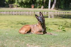 Belgium shepherd dog type malinois. Portrait of belgium shepherd dog type malinois living in belgium and working on a training ground or obedience contest Stock Image