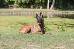 Belgium shepherd dog type malinois. Portrait of belgium shepherd dog type malinois living in belgium and working on a training ground or obedience contest Royalty Free Stock Image