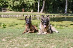 Belgium shepherd dog type malinois. Portrait of belgium shepherd dog type malinois living in belgium and working on a training ground or obedience contest Royalty Free Stock Images