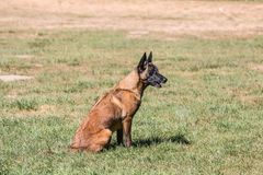 Belgium shepherd dog type malinois. Portrait of belgium shepherd dog type malinois living in belgium and working on a training ground or obedience contest Royalty Free Stock Photography