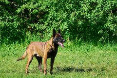 The belgium shepherd is staying on the meadow. royalty free stock image