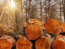 beli drzewa drewno Zdjęcia Royalty Free