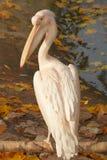 beli pelikana menchie Zdjęcie Stock