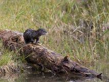 beli wydry rzeka Zdjęcie Royalty Free