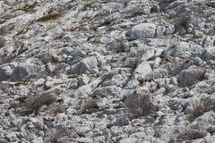 belianske giemzowi wschodni wysocy park narodowy część obrazka rupicapra Slovakia brać tatras tatry zdjęcia stock