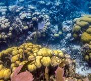 Belice Coral Reef Underwater y pescado Fotos de archivo libres de regalías
