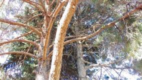 Belichtete immergrüne Tri Baum-Stämme lizenzfreie stockbilder