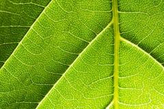 Belichtetes grünes Blatt, Makrophotographie Stockbilder